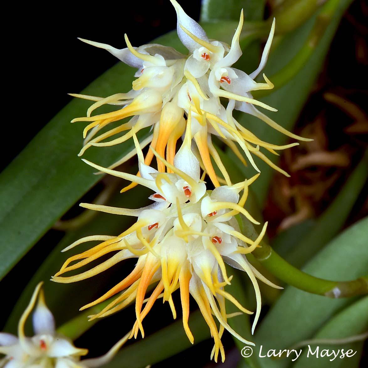Bulbophyllum odoratissimum var