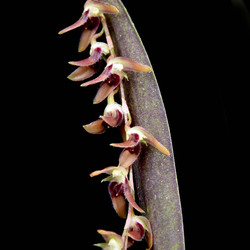Trichosalpinx patula
