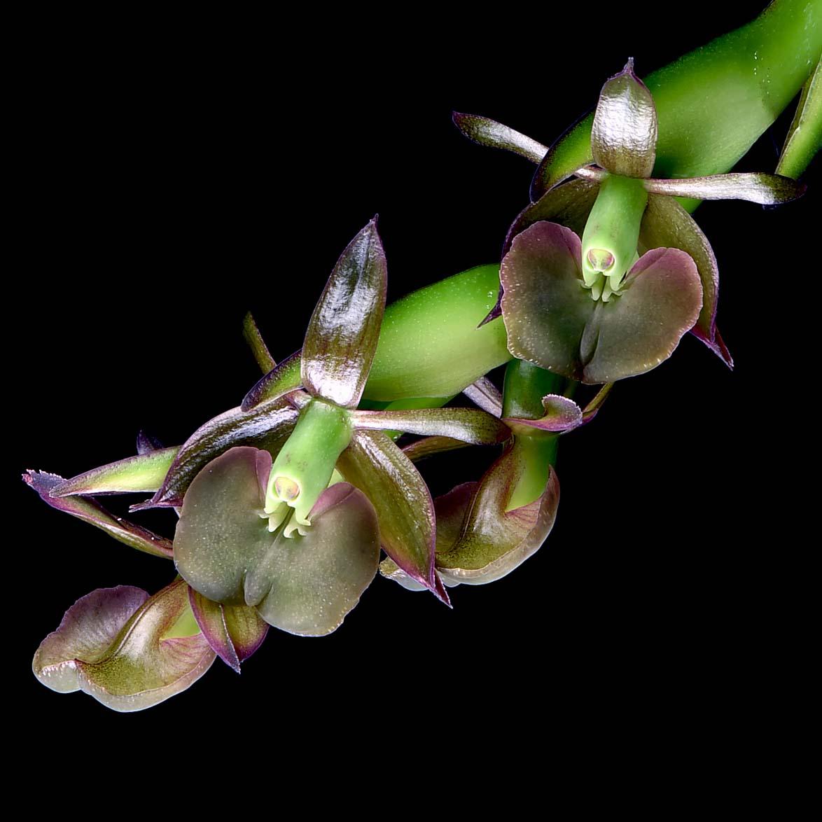 Epidendrum coriifolium