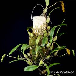 Bulbophyllum cupreum