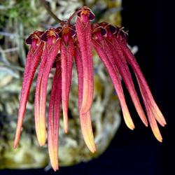 Bulbophyllum thaiorum frma