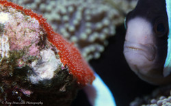 A Clark's Anemonefish with eggs