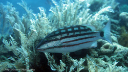 Checkered Snapper