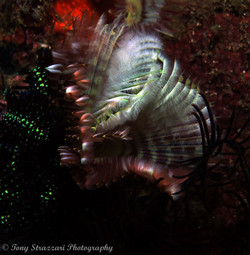 Indian Feather Duster Worm