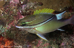 Two-line Monocle Bream