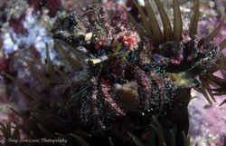 Hairy Red Hermit Crab