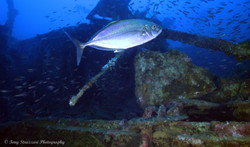 One of several different trevally