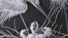 Hungry Little Egrets