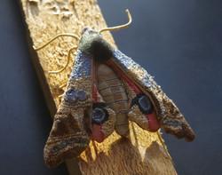 A Hawk Eyed Moth (SOLD)