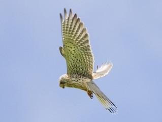 Soaring High Over The Moor