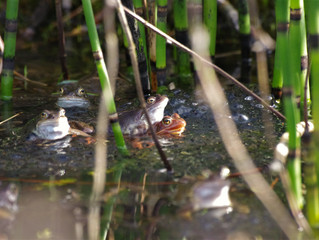 Common Frogs In My Pond