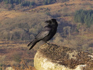 Making Friends With A Raven