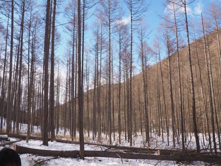 南相木村にて、カラマツの伐採