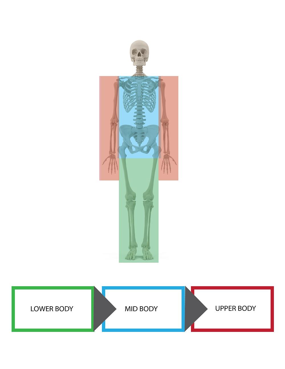 musculature, anatomy, body sub groups, kinesiology, biomechanics,