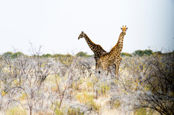 Photo girafe Namibie