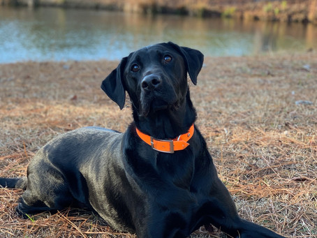 The Labrador - Which Subtype is Best for You?
