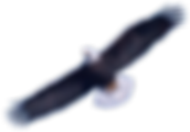 Download-Bald-Eagle-PNG-Image-026.png