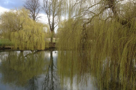 Thames-willow.jpg