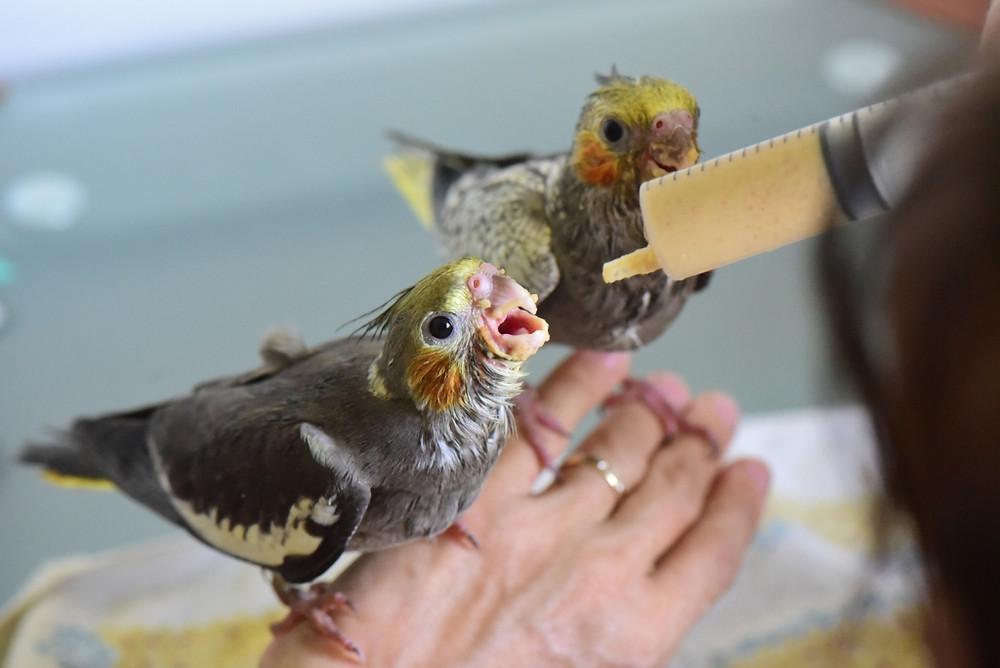 Jeunes perruches calopsittes âgées d'environ 1 mois