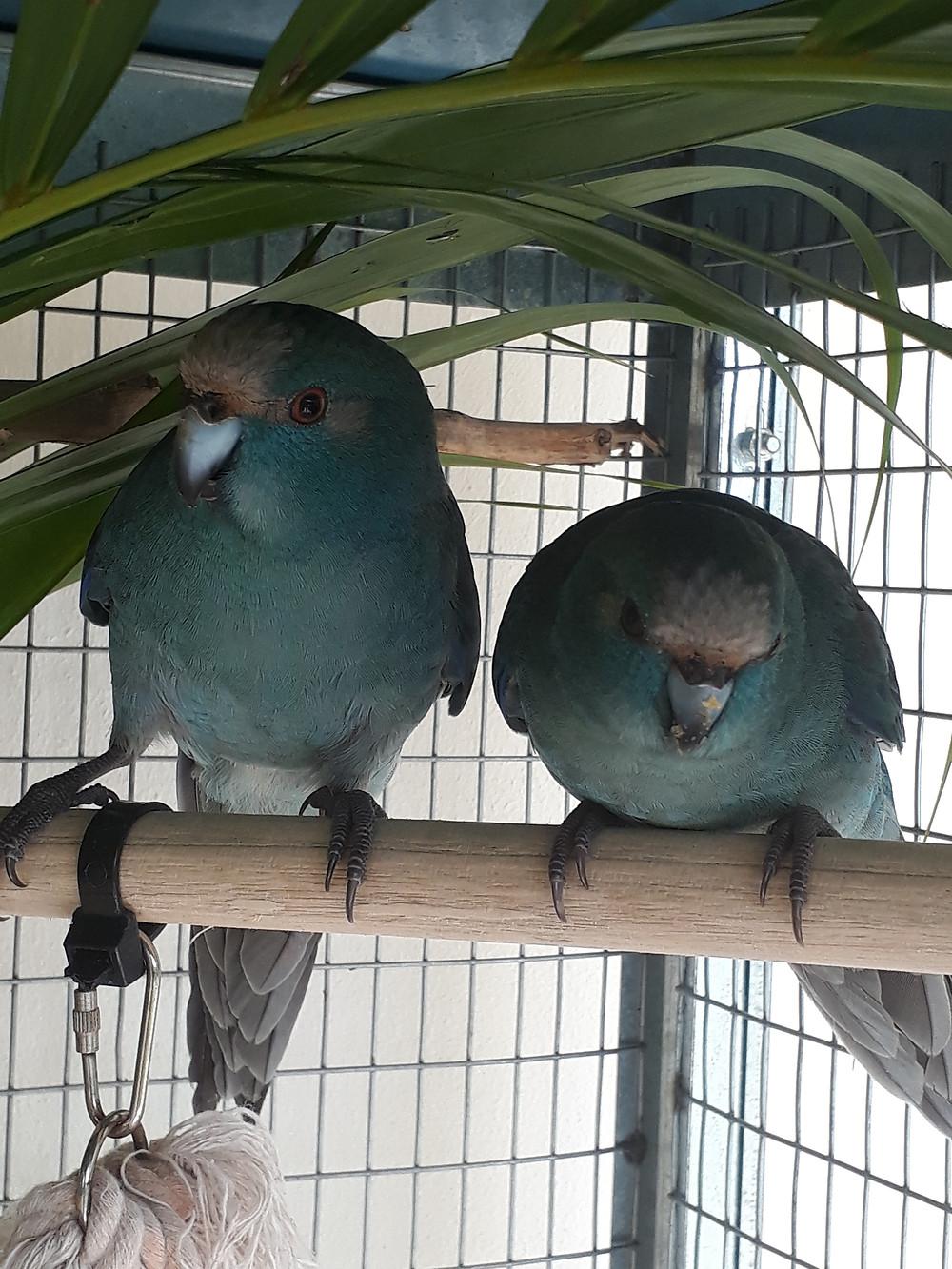 Kakarikis bleus - Perruches de Nouvelle Zélande