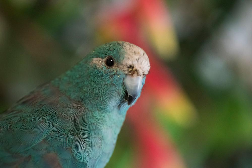 """""""perruche #kakariki #perruchekakariki #kakarikibleu #perruchenouvellezelande #oiseau #animal"""