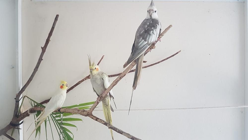 Z'ANIMOS MARTINIQUE - Calopsittes aux plumages variés