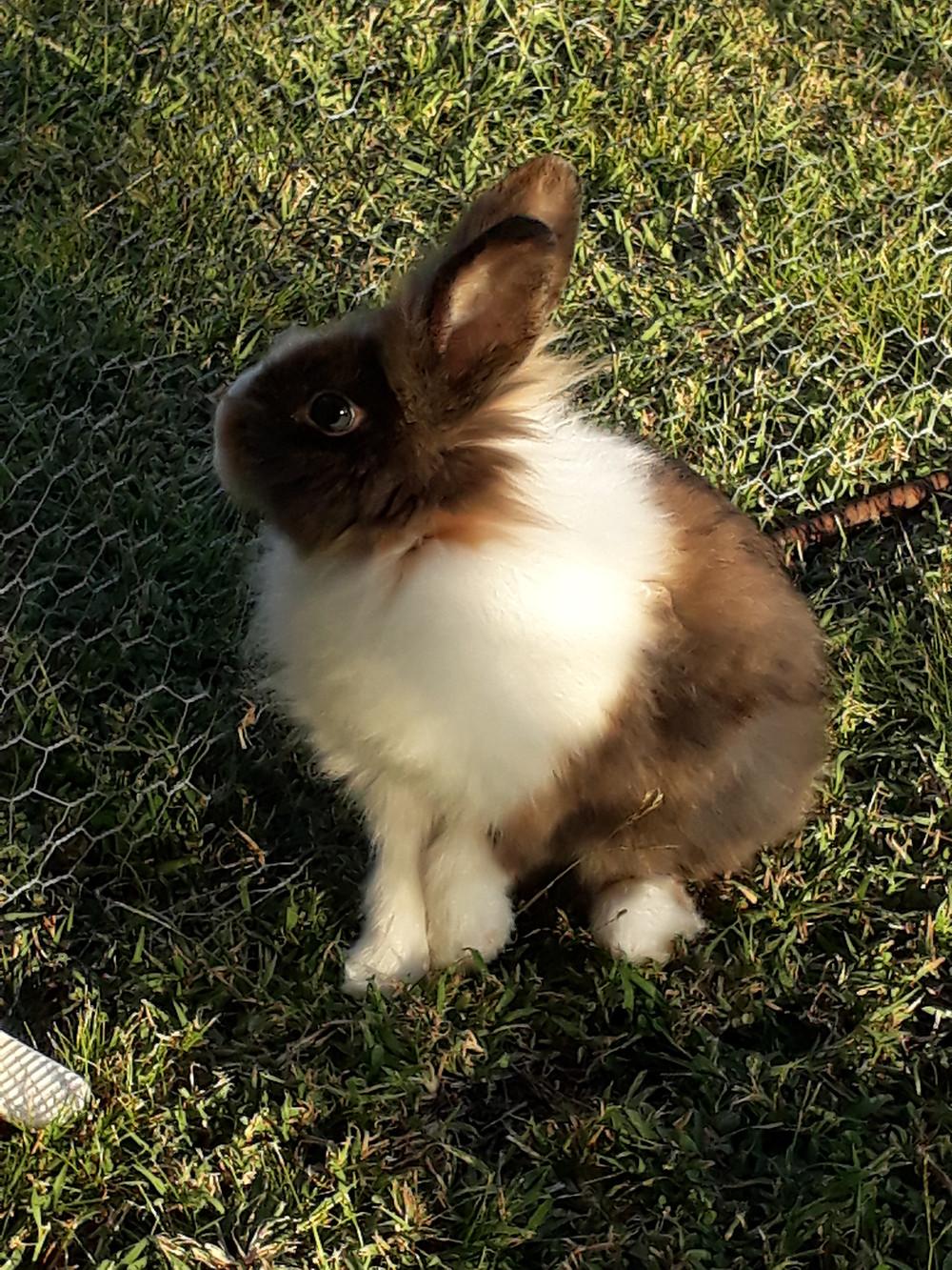 Z'animos Martinique - Garde de lapins nains
