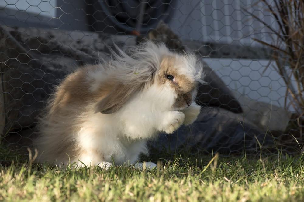 Z'animos Martinique - Garde de lapins nains béliers