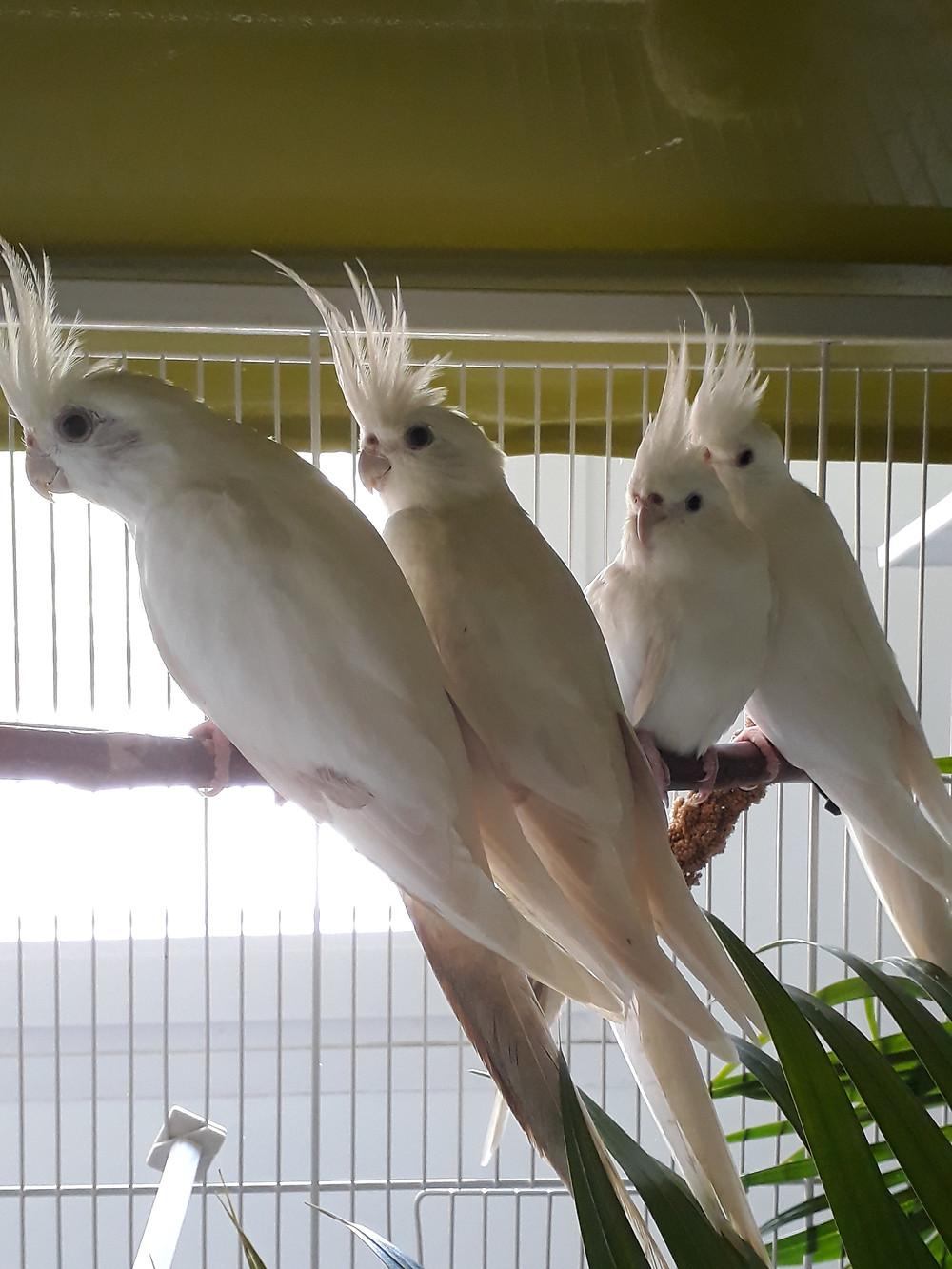 Z'ANIMOS MARTINIQUE - Perruches calopsittes blanches, une rareté issue d'une association entre face blanche et lutino