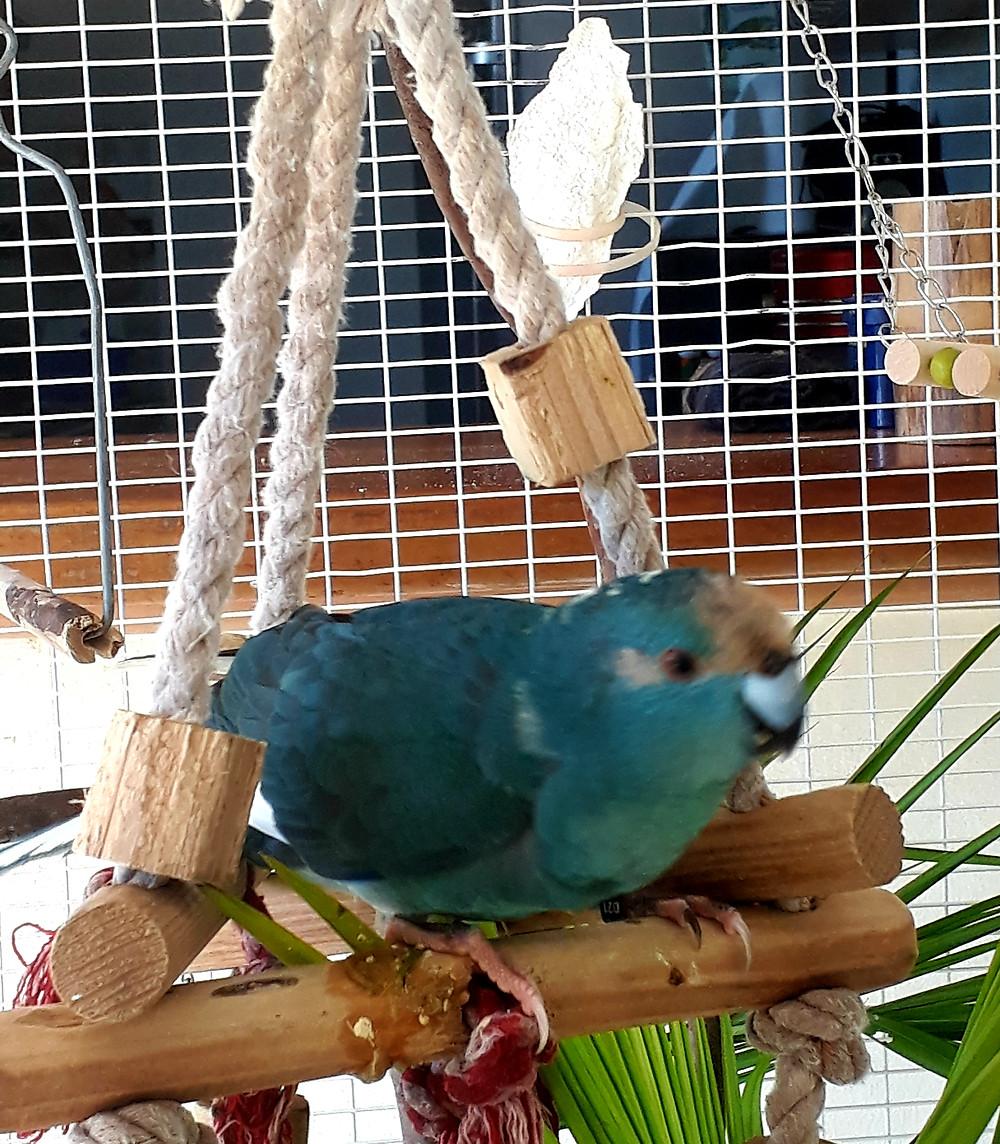 #perruche #kakariki #perruchekakariki #kakarikibleu  #perruchenouvellezelande #oiseau #animal