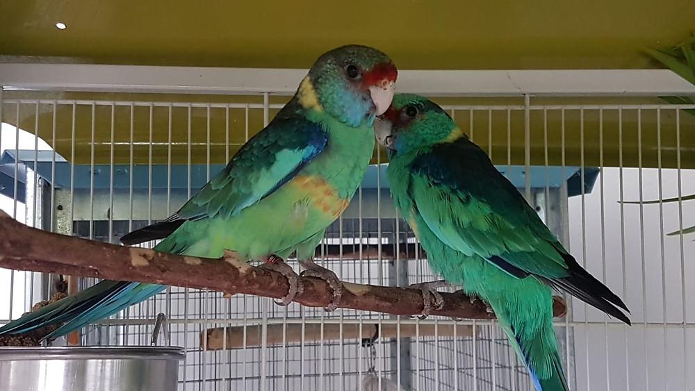 Z'ANIMOS MARTINIQUE - Couple de perruches Barnard , de magnifiques petits perroquets originaires d'Australie !