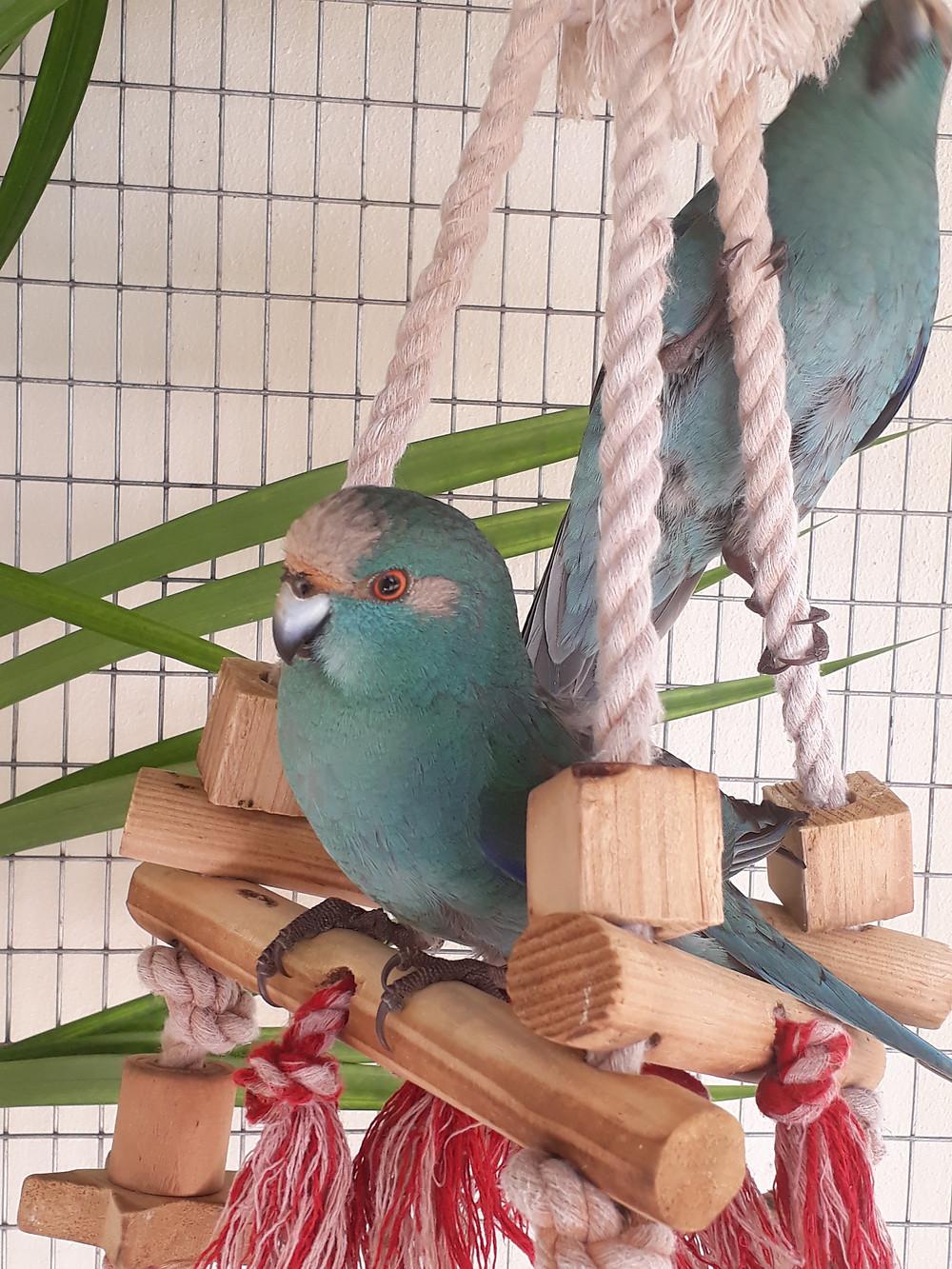 Z'animos Martinique - Kakarikis bleus - Perruches de Nouvelle Zélande