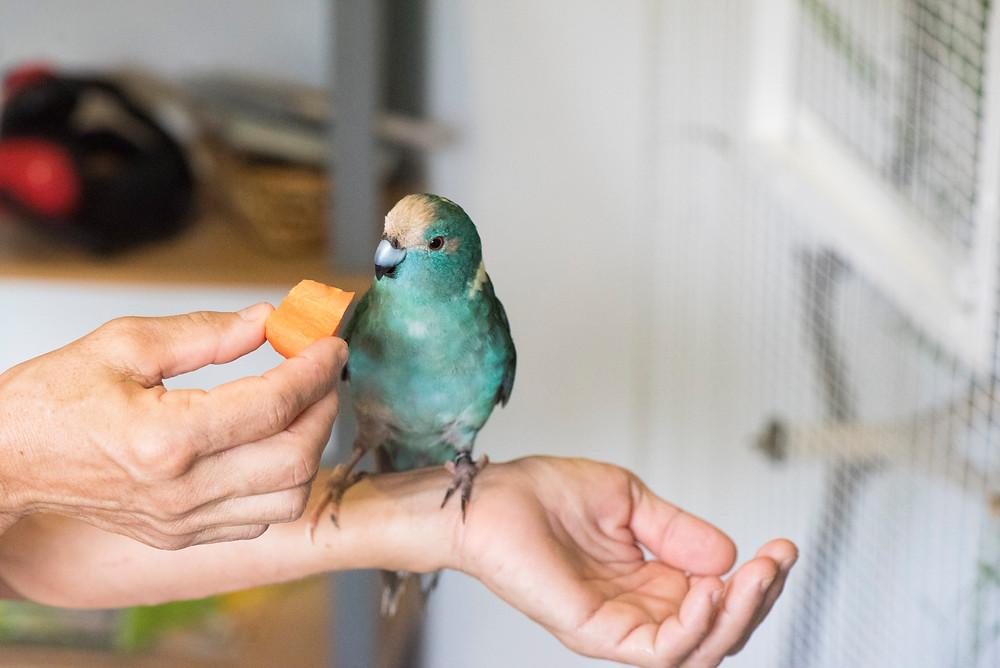 #perruche #kakariki #perruchekakariki #kakarikibleu #perrucheeam #perrucheeleveealamain, #oiseau #nouvellezelande