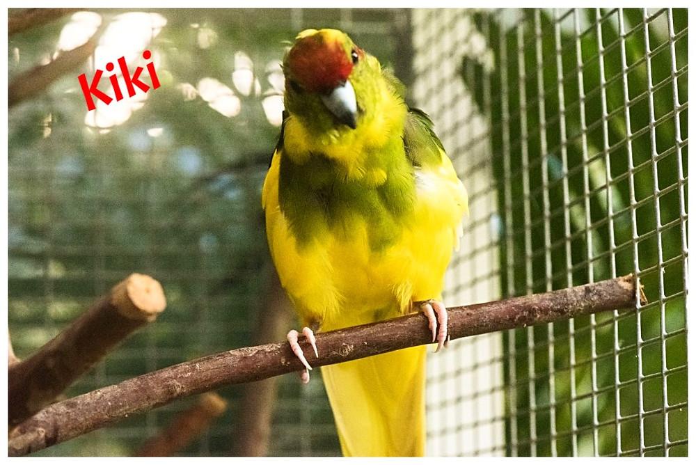 Z'animos Martinique - Le kakariki est une grande perruche originaire de Nouvelle Zélande. Cette espèce est très curieuse et espiègle, j'attends avec impatience que mon petit couple se reproduisent pour avoir des petits élevés à la main !