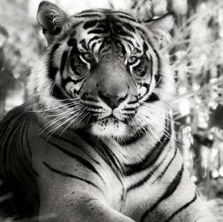 Tigers Don't Change Their Stripes