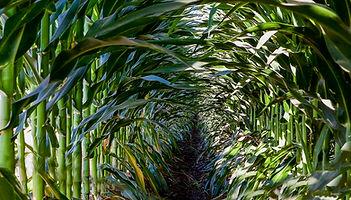 Corn Row.jpg