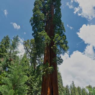 Sequoia Giant