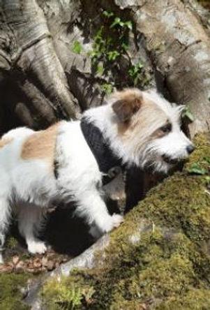 Rodent detection dog