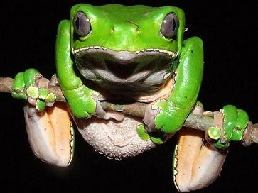kambo frog.jpg