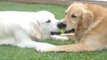 Check out Island Goldens New Blog!