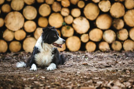 Hundeportrait Border Collie