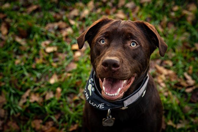 Labrador_braun_Tierfotograf_Lengerich.jpg