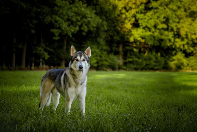 Asgard vom Emsland Hundeportrait