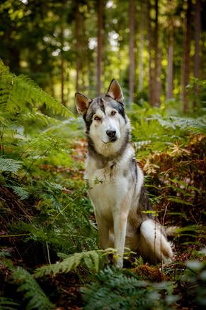 Haustierportrait Wolfalike