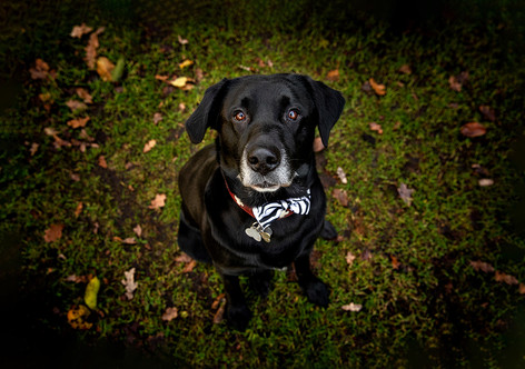 Labrador_Tierfotograf.jpg
