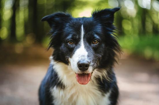 Hundeportrait Boder Collie