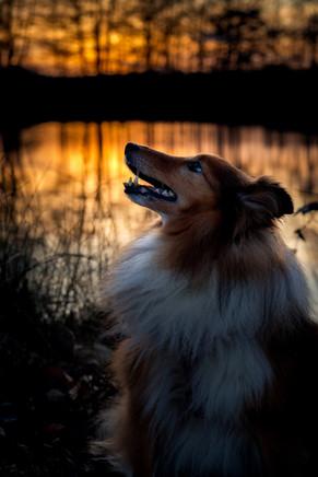 Hundeportrait Sheltie