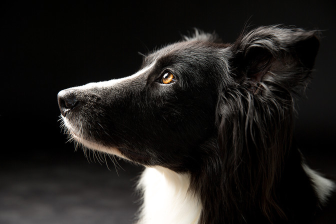 Hundeportrait im Studio