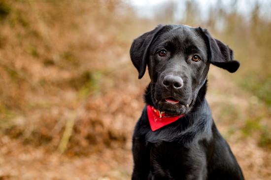 Hundeportrait Labrador