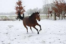 schoppend paard, schoppende paarden, natural horsemanship gelderland, schoppent paard